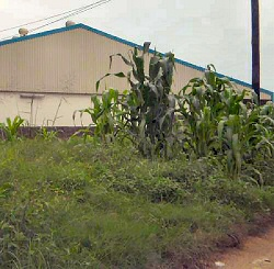 Maize growing on the roadside